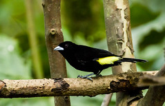 0P7A3148  Flame-rumped  Tanager, Ecuador
