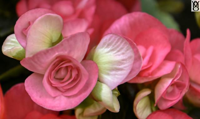 Flores: Rosas-Roses.