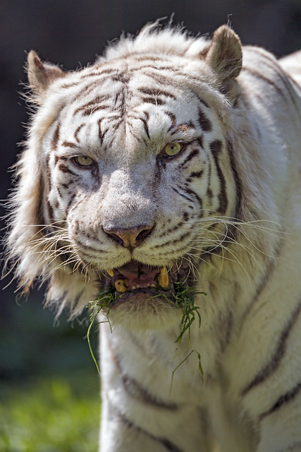 Closeup of the tiger with grass