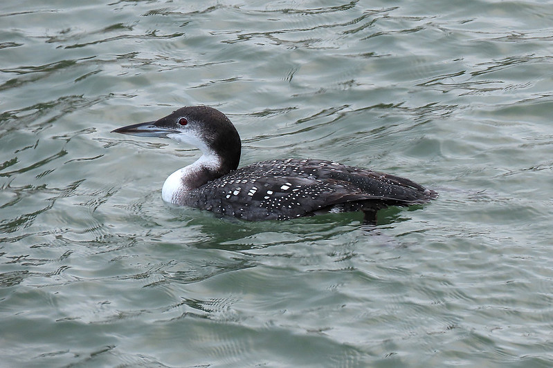 Great Northern Diver - immer