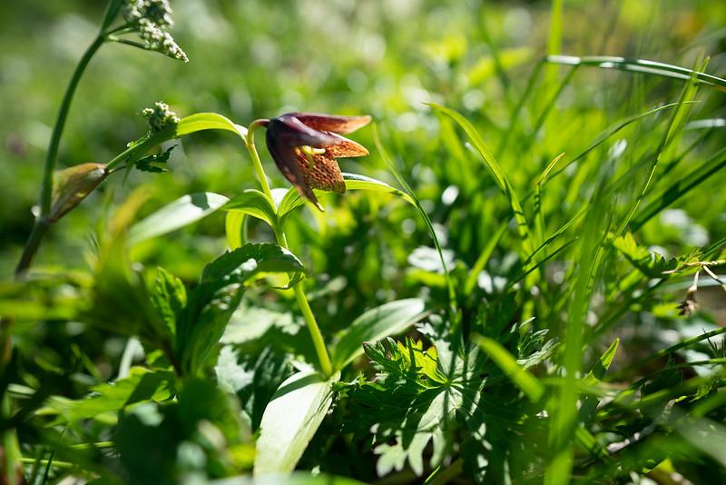 白山奥宮の隣に咲くクロユリ