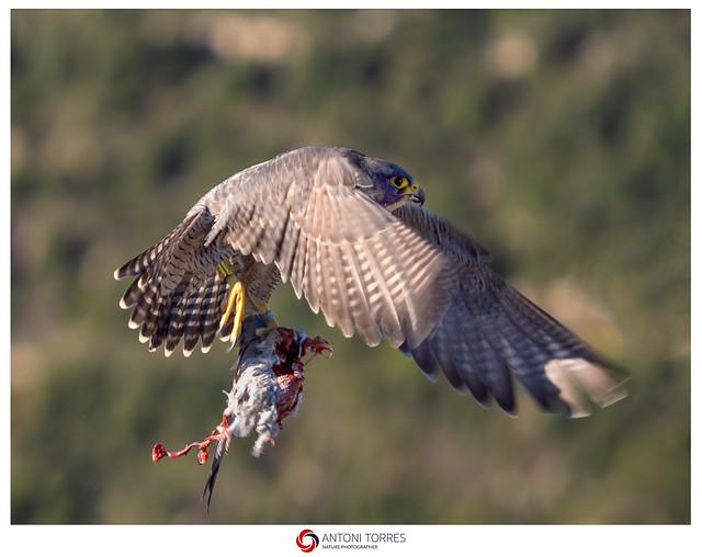 Falco pelegri emportant-se la seva presa