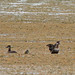 Flickr photo 'Ruddy Ducks (Oxyura jamaicensis)' by: Mary Keim.