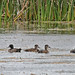 Flickr photo 'Ring-necked Ducks (Aythya collaris)' by: Mary Keim.