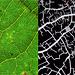 Leaf Veins and Fez Medina street map (partial)