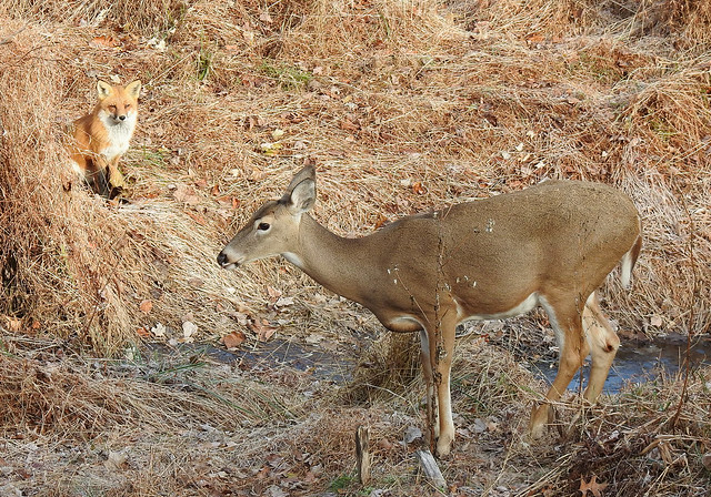 White-tailed Doe and Red Fox 2