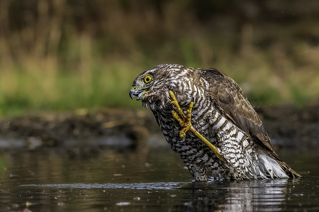 sparrowhawk / Sperber