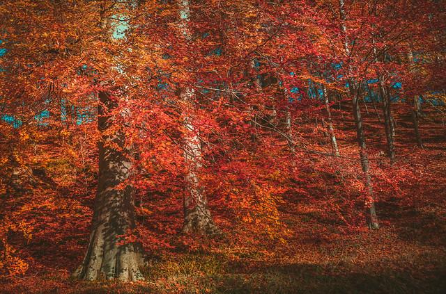 Autumn Collection - 10 - autumn red