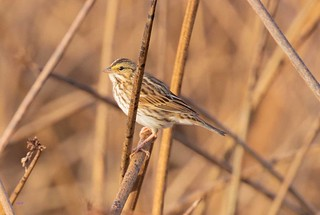 IMG_1053 Savannah Sparrow