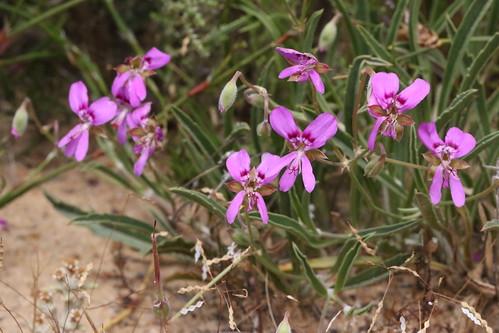 Pelargonium coronopifolium in habitat