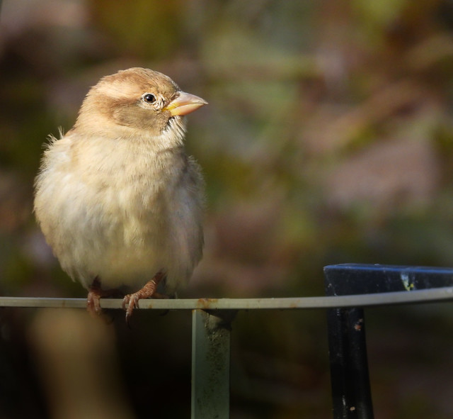 Sparrow in evening light.