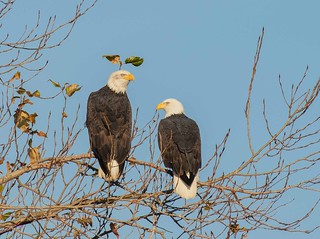 IMG_9572 Bald Eagles return