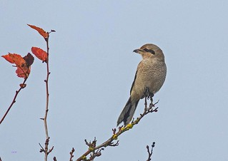IMG_0055 Northern Shrike