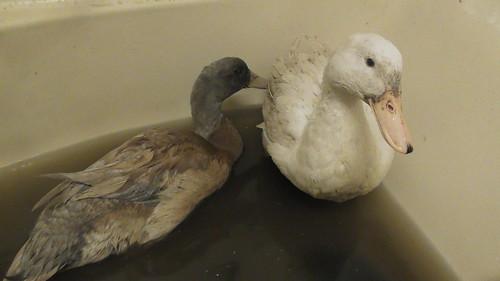 ducks in bath Nov 19