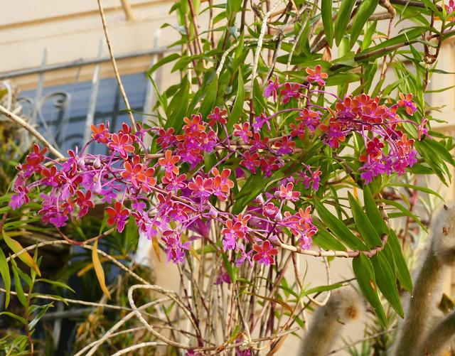 Epidendrum schweinfurthianum species orchid 11-19*