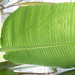 Spruce mini-leaves to Banana mega-leaves