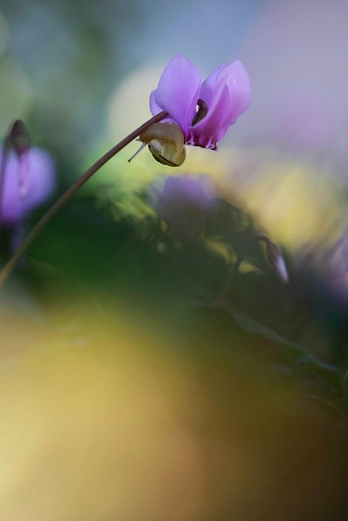 Bien accroché / Little snail on cyclamen flower