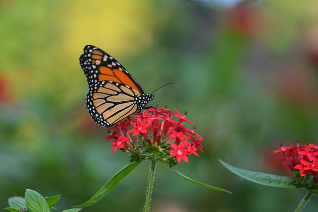 Monarch Thursday