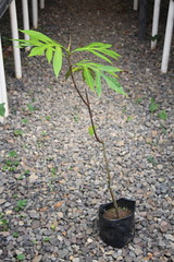 Shoot borer damage on breadfruit