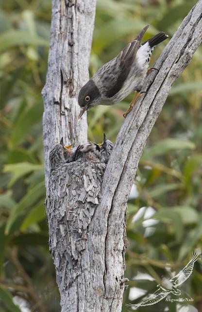 Varied Sittella (Daphoenositta chrysoptera)