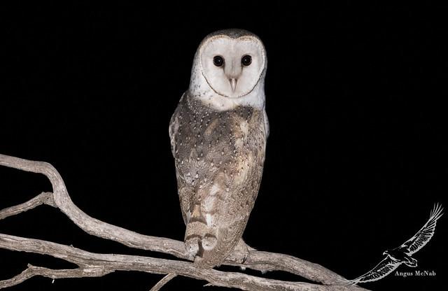 Eastern Barn Owl (Tyto javanica)