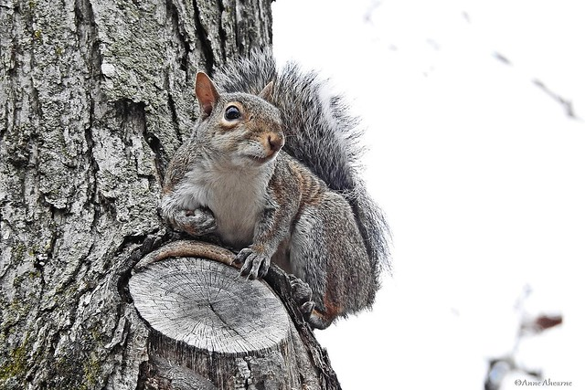Gray Squirrel on a Gray Day