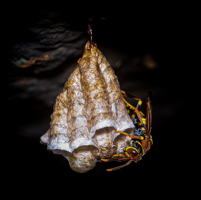 Hymenoptera - Vespidae