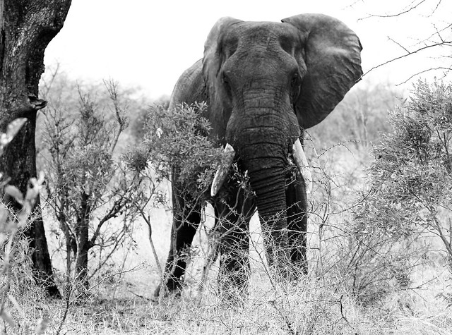 Elephant in the wild in South Africa