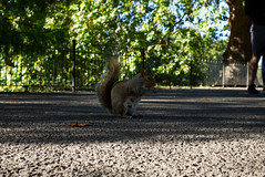 Squirrel in St James Park, London