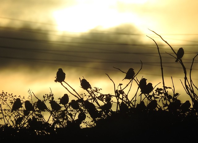 Hedgerow Birds Silhouettes at Sunset