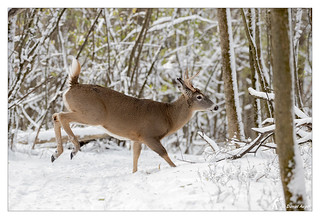 Cerf de Virginie / White-tailed Deer