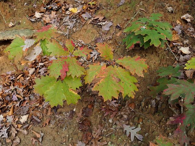 Northern Red Oak Babies
