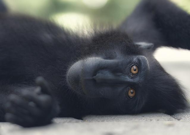 A black macaque.
