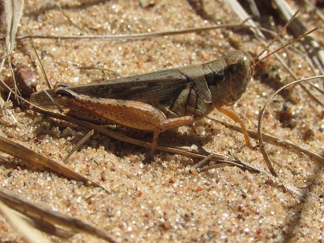 Melanoplus fluviatilis, female