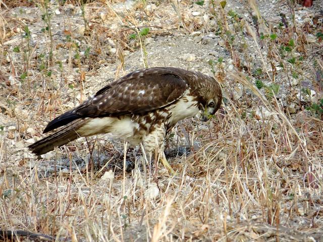 hawk has dinner