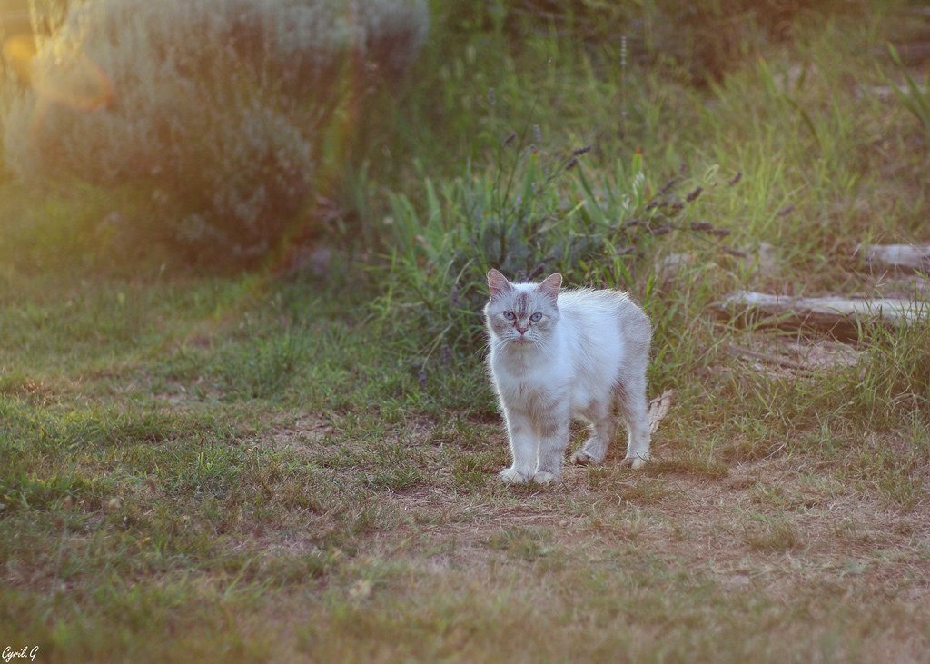 Sunset Cat 49067586447_26bc7a3b11_b