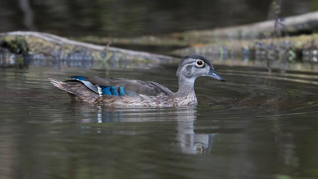 Wood Duck (F)  9857