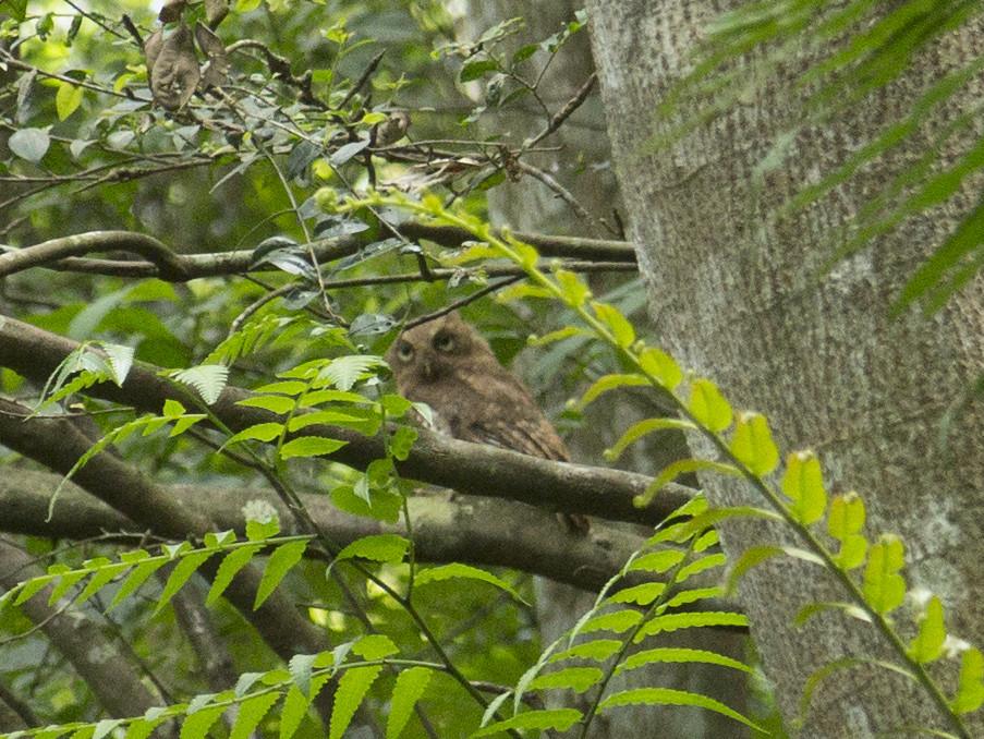 黃嘴角鴞2