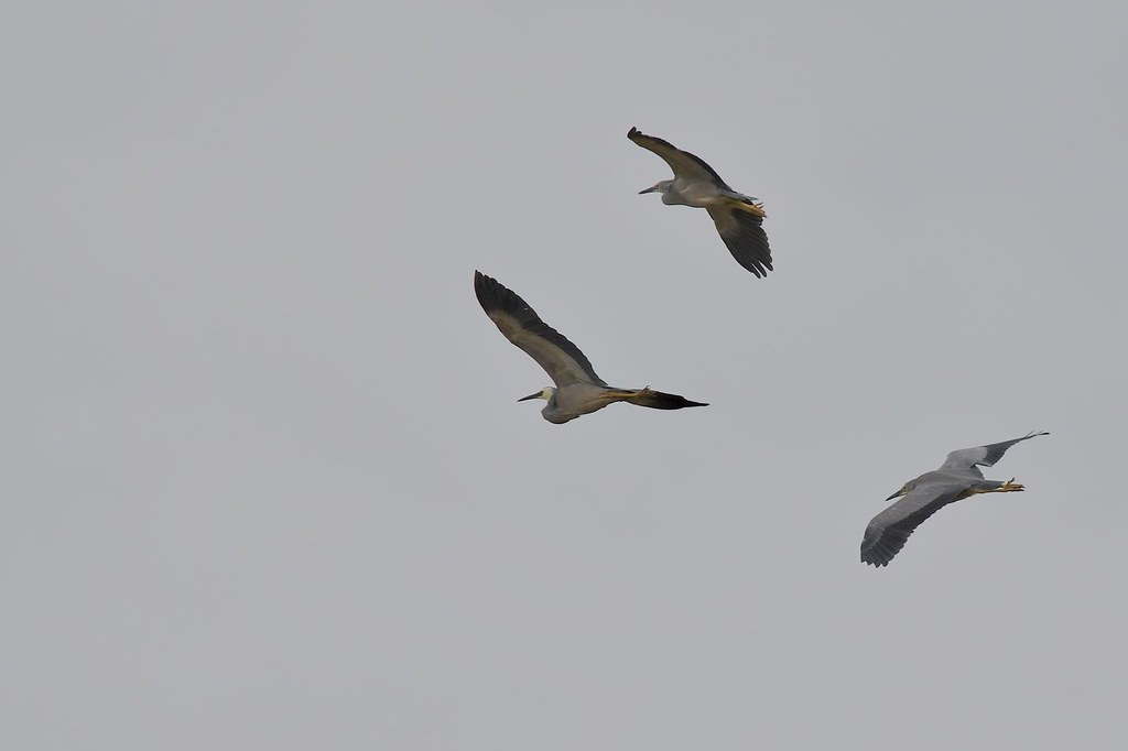 White- faced Herons ( Going for a fly before lunch )