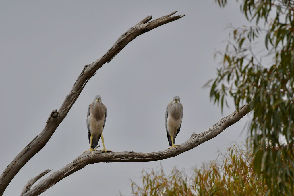 White - faced Herons ( Juv. waiting on Mum )