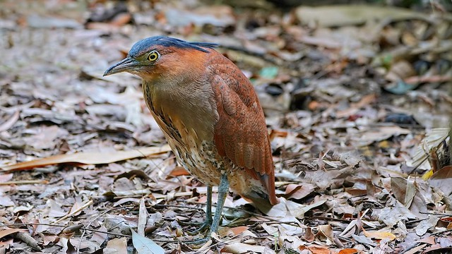 Winter Visitor: Malaysian Night Heron Adult