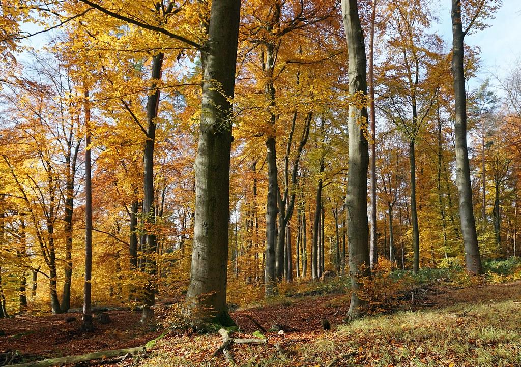 Ein Rotbuchenwald im Herbst