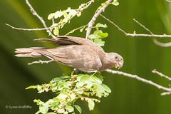 Seychelles Black Parrot - Status - threatened D85_8169.jpg