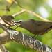 Brown Noddy Tern - Passing the fish 501_8879.jpg