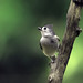 Wild Planet Photo Magazine posted a photo:	A little gray bird with an echoing voice, a Tufted Titmouse finds a good perch for observing any potential predators.lp-mag.com/62dmx