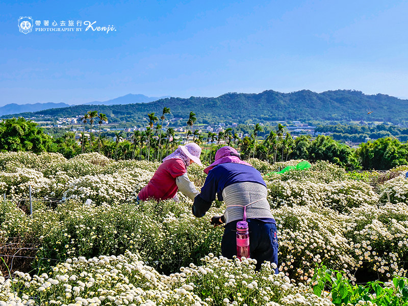 chrysanthemum-travel-11