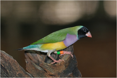 Gouldian Finch - Territory Wildlife Park, Berry Springs, Northern Territory, Austrtalia