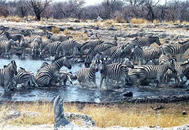 Namibia: Zebras at the Goas waterhole, Etosha