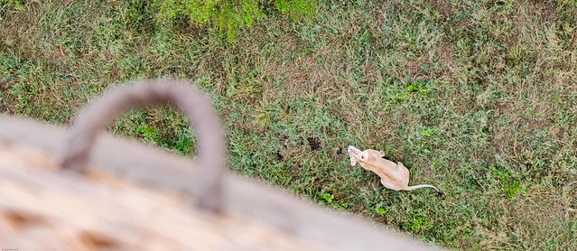 I look at you  ....  Masai Mara_6159