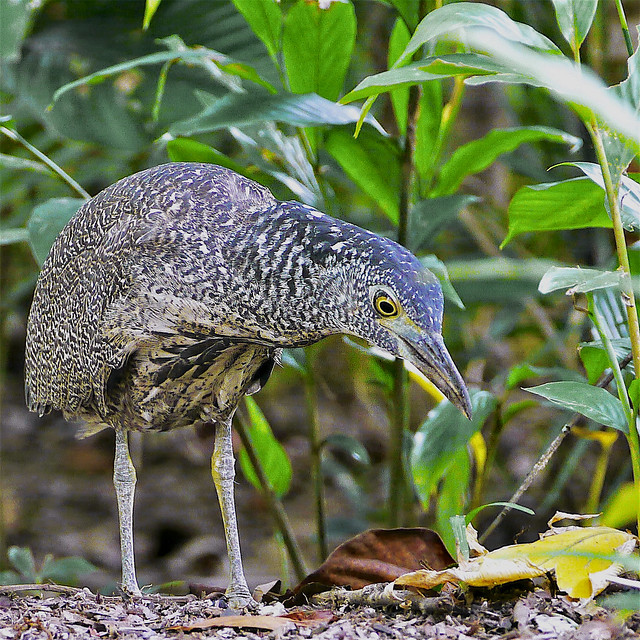 Winter Visitor: Malaysian Night Heron Jev
